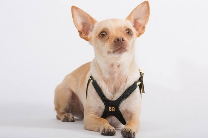 10k-dog-harness-made-of-gold-and-diamonds2